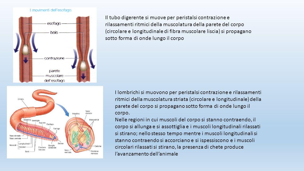 Il tubo digerente si muove per peristalsi contrazione e rilassamenti ritmici della muscolatura della parete del corpo (circolare e longitudinale di fibra muscolare liscia) si propagano sotto forma di onde lungo il corpo