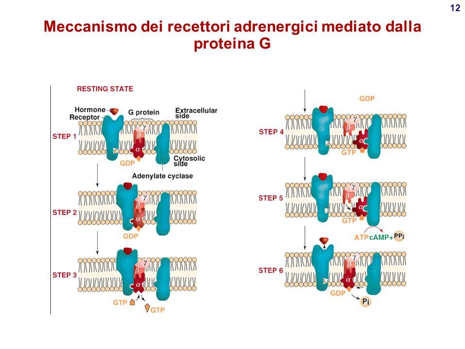 Meccanismo dei recettori adrenergici mediato dalla proteina G