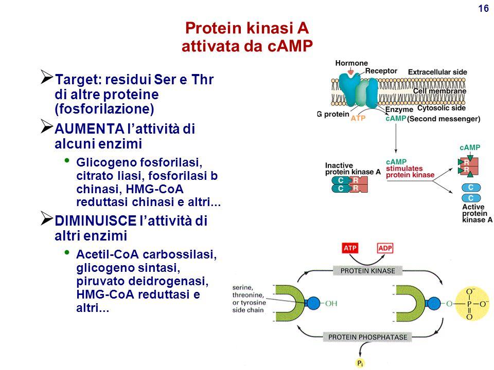 Protein kinasi A attivata da cAMP
