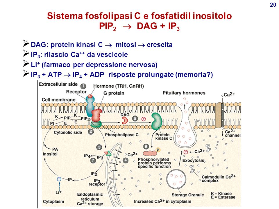 Sistema fosfolipasi C e fosfatidil inositolo PIP2  DAG + IP3