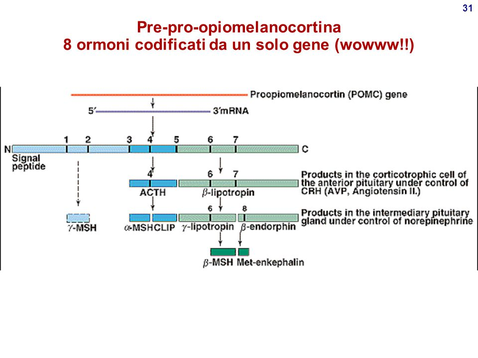 Pre-pro-opiomelanocortina 8 ormoni codificati da un solo gene (wowww!!)