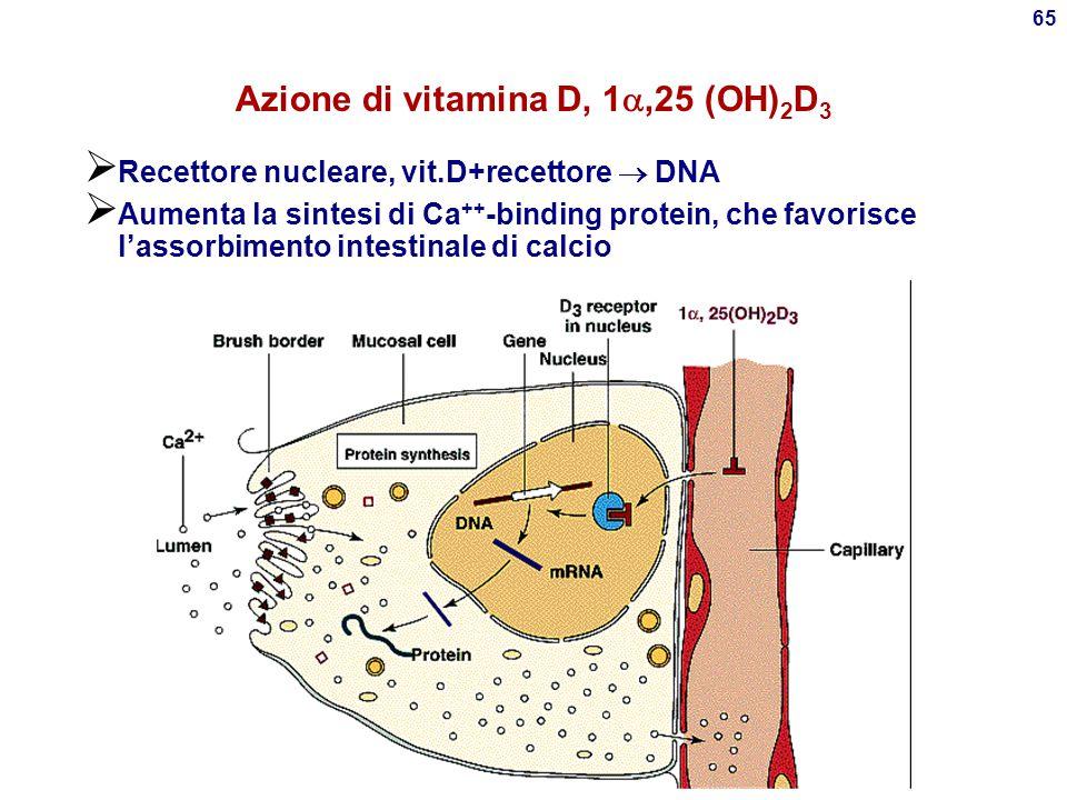 Azione di vitamina D, 1,25 (OH)2D3