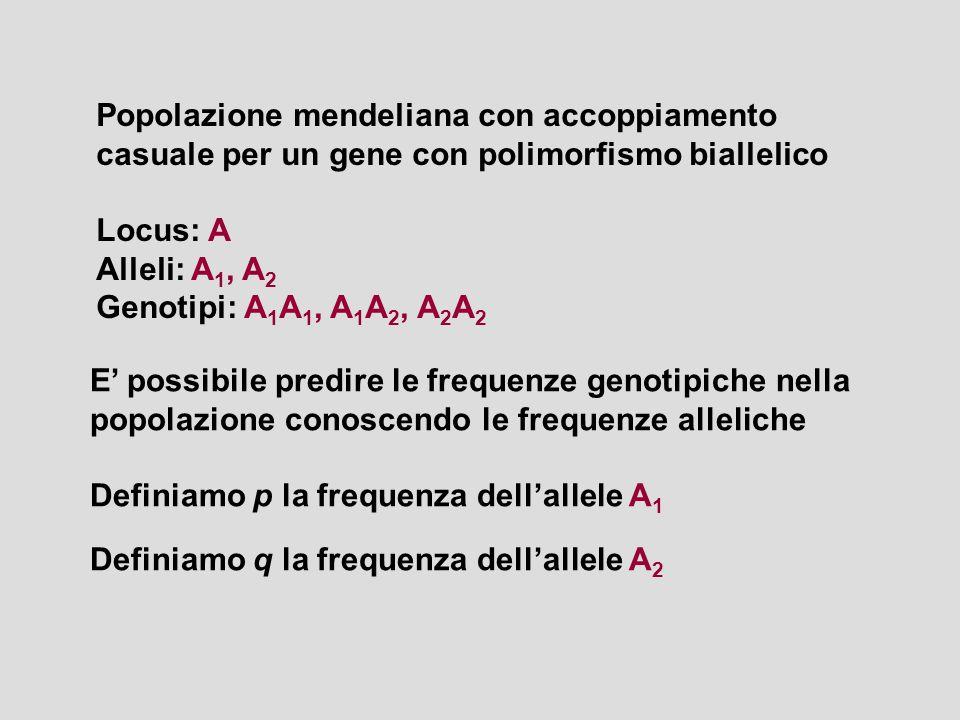 Popolazione mendeliana con accoppiamento casuale per un gene con polimorfismo biallelico