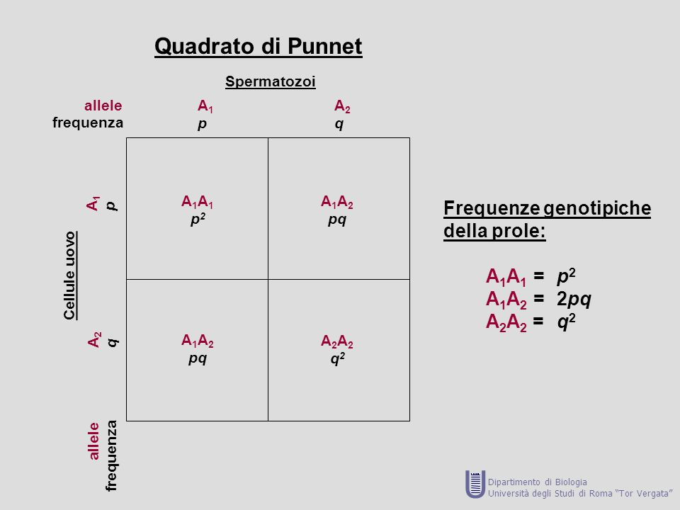 U Quadrato di Punnet Frequenze genotipiche della prole: A1A1 = p2