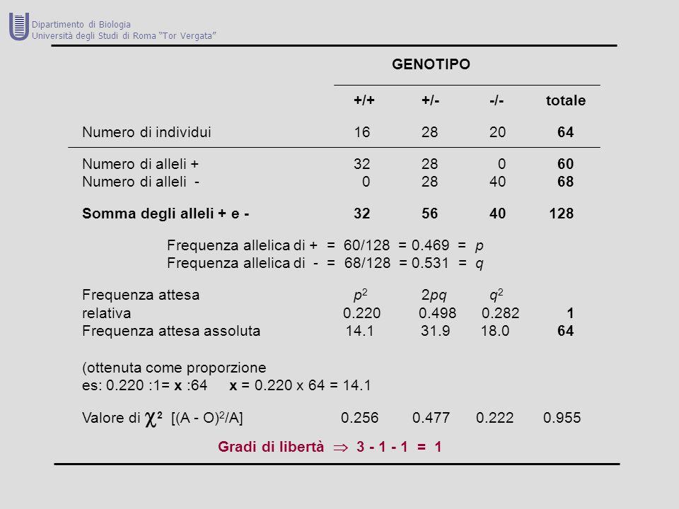 U GENOTIPO +/+ +/- -/- totale Numero di individui 16 28 20 64