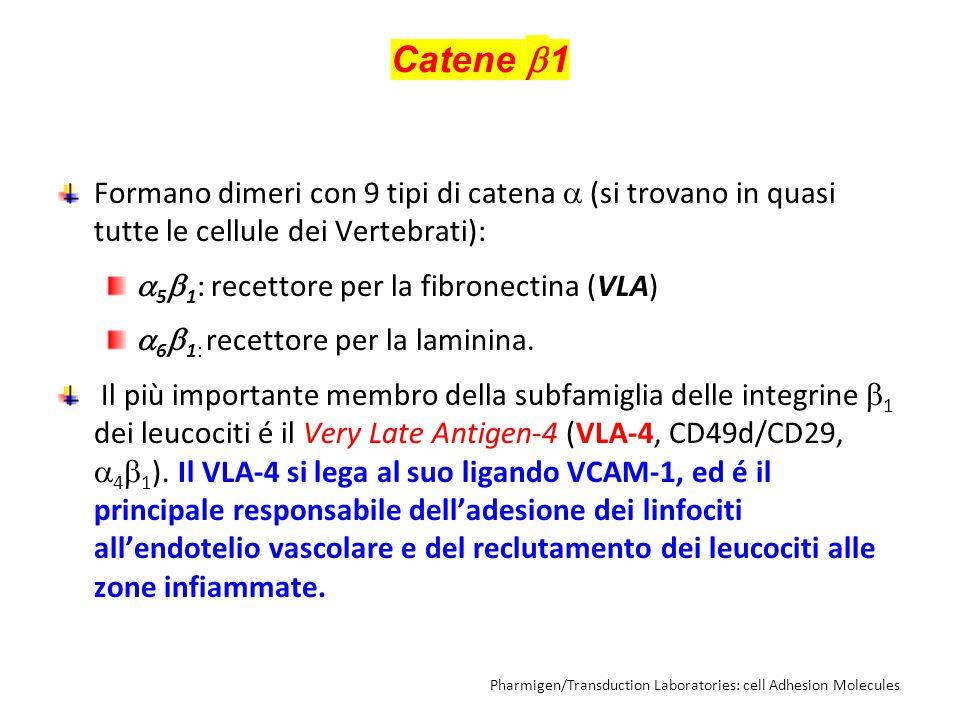Catene 1 Formano dimeri con 9 tipi di catena  (si trovano in quasi tutte le cellule dei Vertebrati):