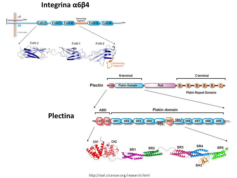 Integrina α6β4 Plectina http://xtal.cicancer.org/research.html