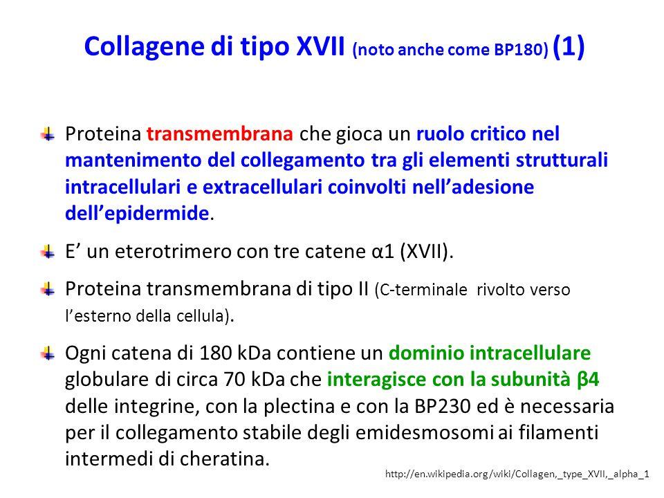Collagene di tipo XVII (noto anche come BP180) (1)