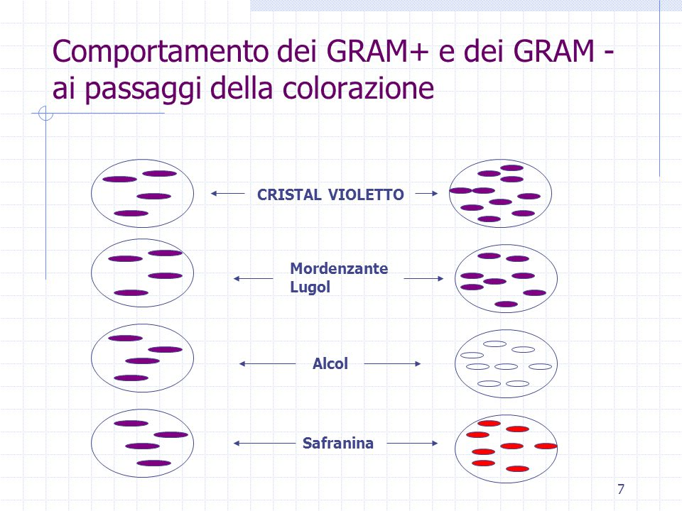 Comportamento dei GRAM+ e dei GRAM -ai passaggi della colorazione