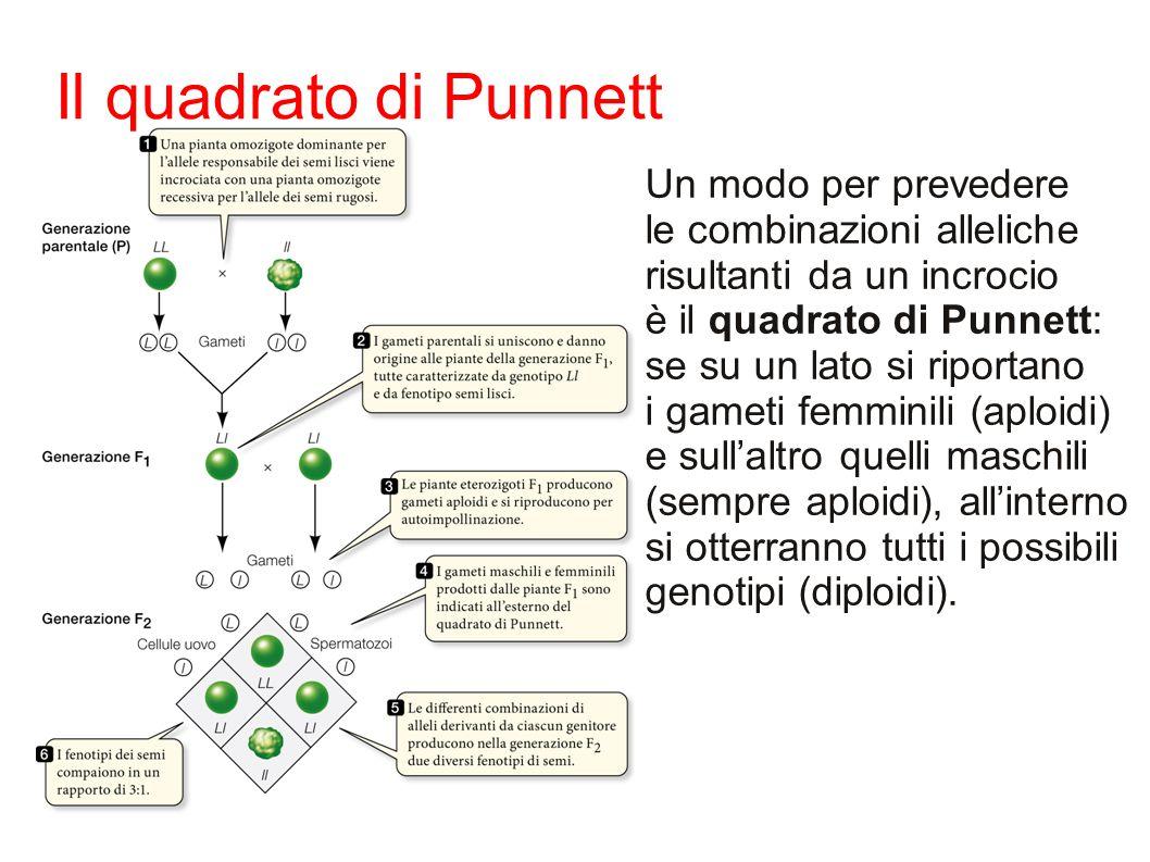 Il quadrato di Punnett Un modo per prevedere le combinazioni alleliche