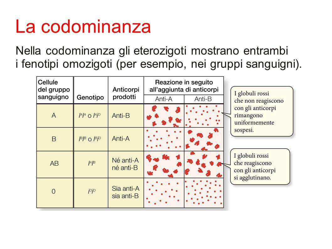 La codominanza Nella codominanza gli eterozigoti mostrano entrambi