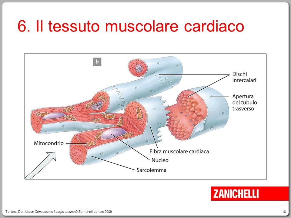 6. Il tessuto muscolare cardiaco