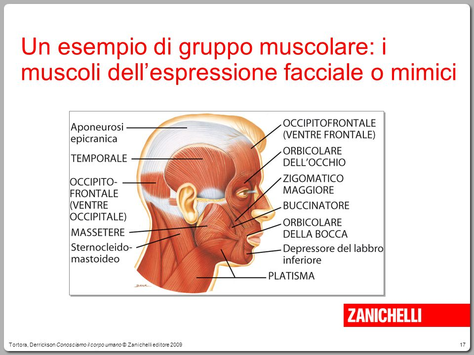 Un esempio di gruppo muscolare: i muscoli dell'espressione facciale o mimici