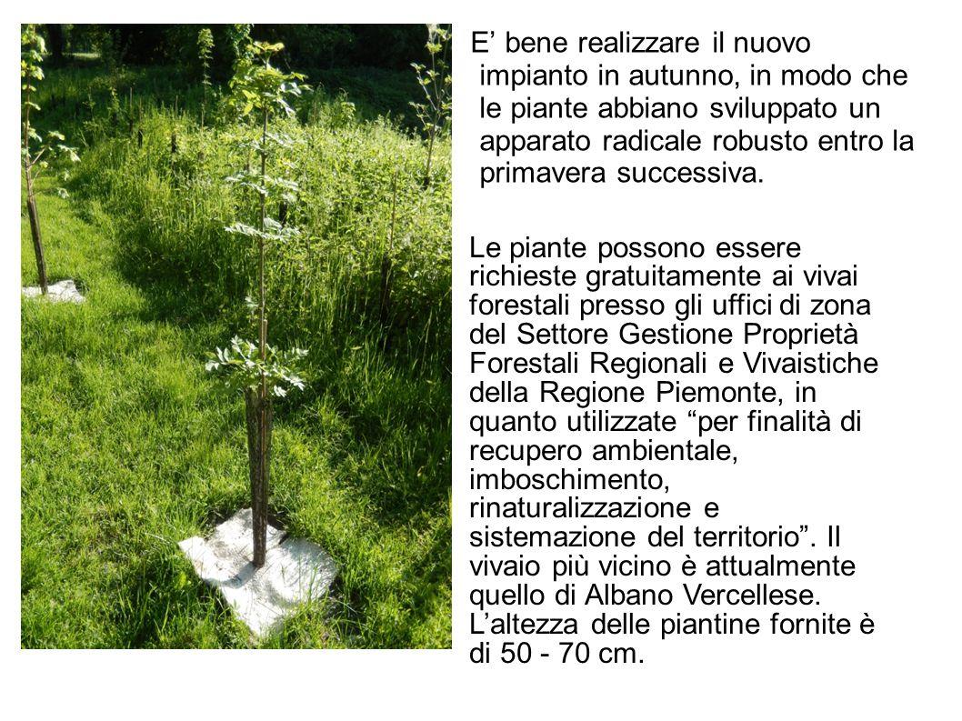 E' bene realizzare il nuovo impianto in autunno, in modo che le piante abbiano sviluppato un apparato radicale robusto entro la primavera successiva.