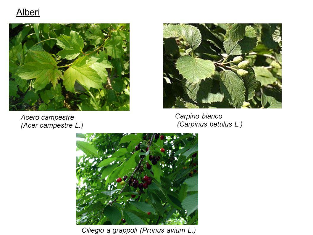 Alberi Carpino bianco Acero campestre (Carpinus betulus L.)
