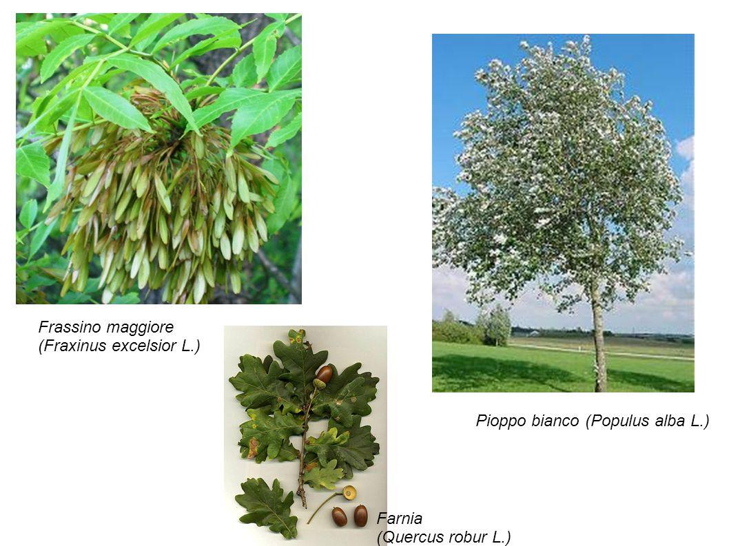 Frassino maggiore (Fraxinus excelsior L.)