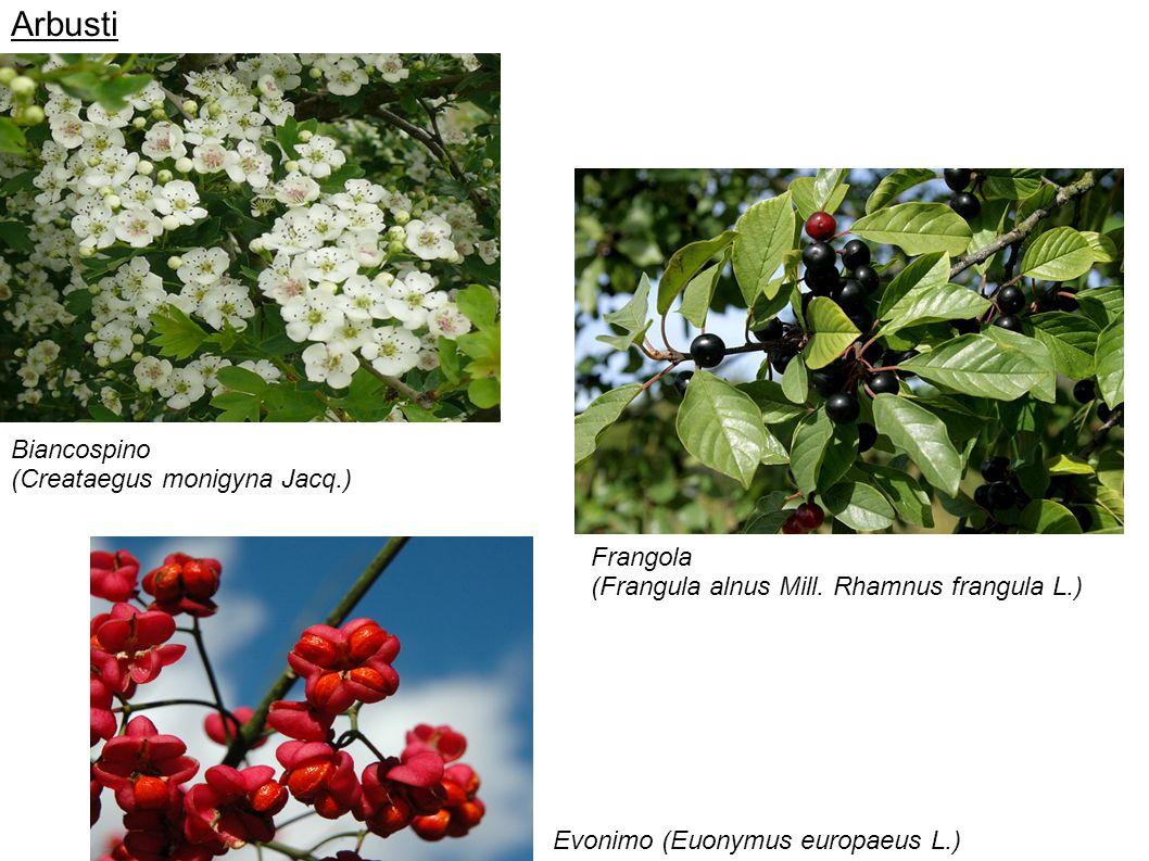 Arbusti Biancospino (Creataegus monigyna Jacq.) Frangola