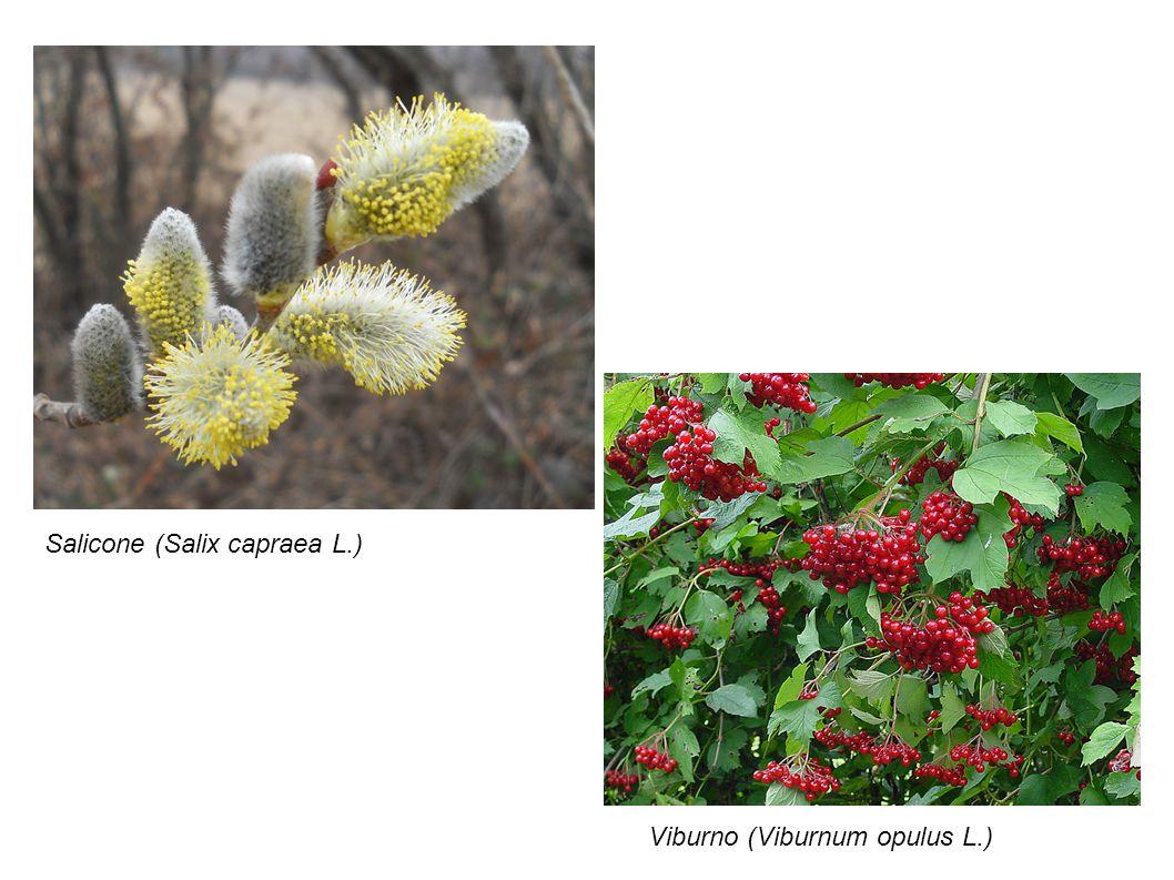Salicone (Salix capraea L.)