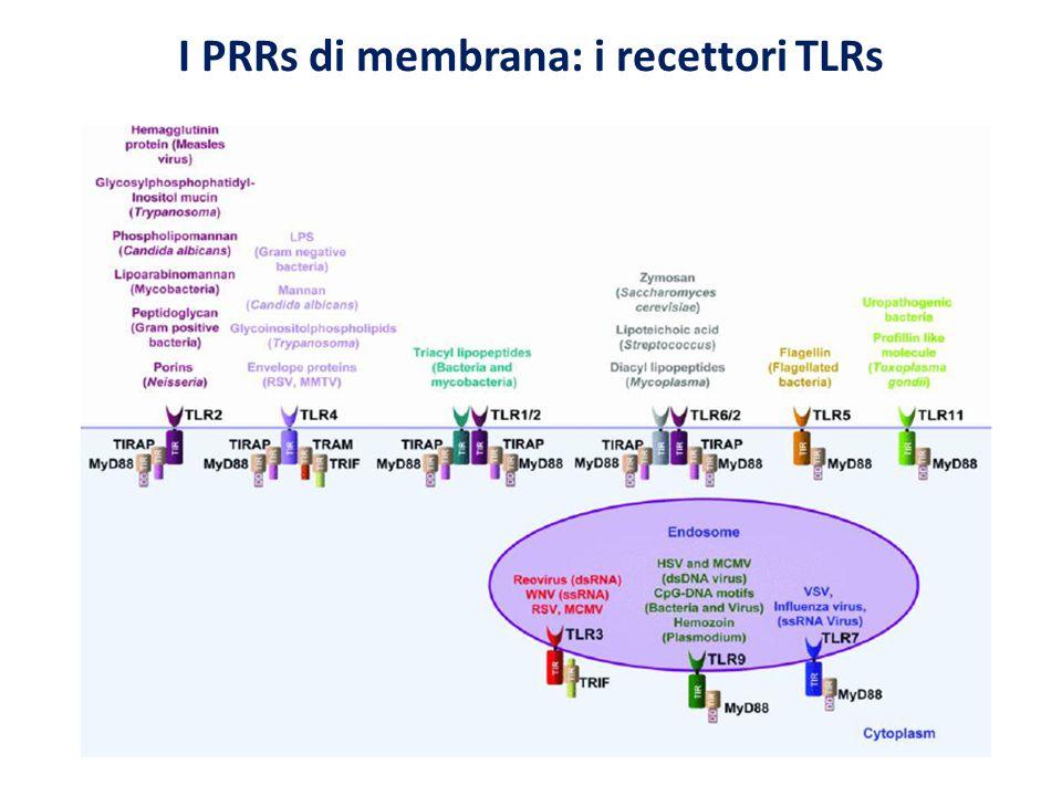I PRRs di membrana: i recettori TLRs
