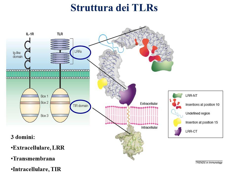 Struttura dei TLRs 3 domini: Extracellulare, LRR Transmembrana