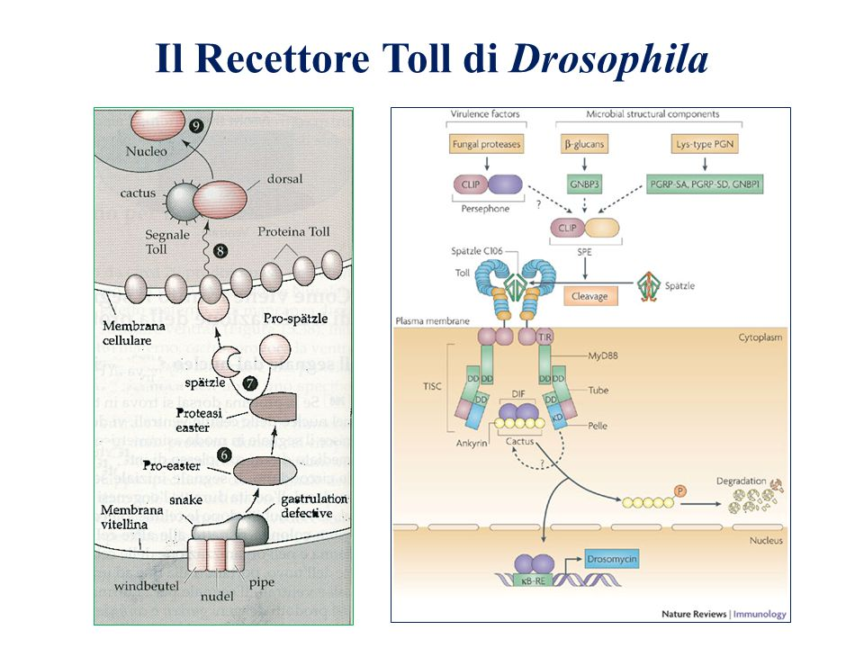Il Recettore Toll di Drosophila