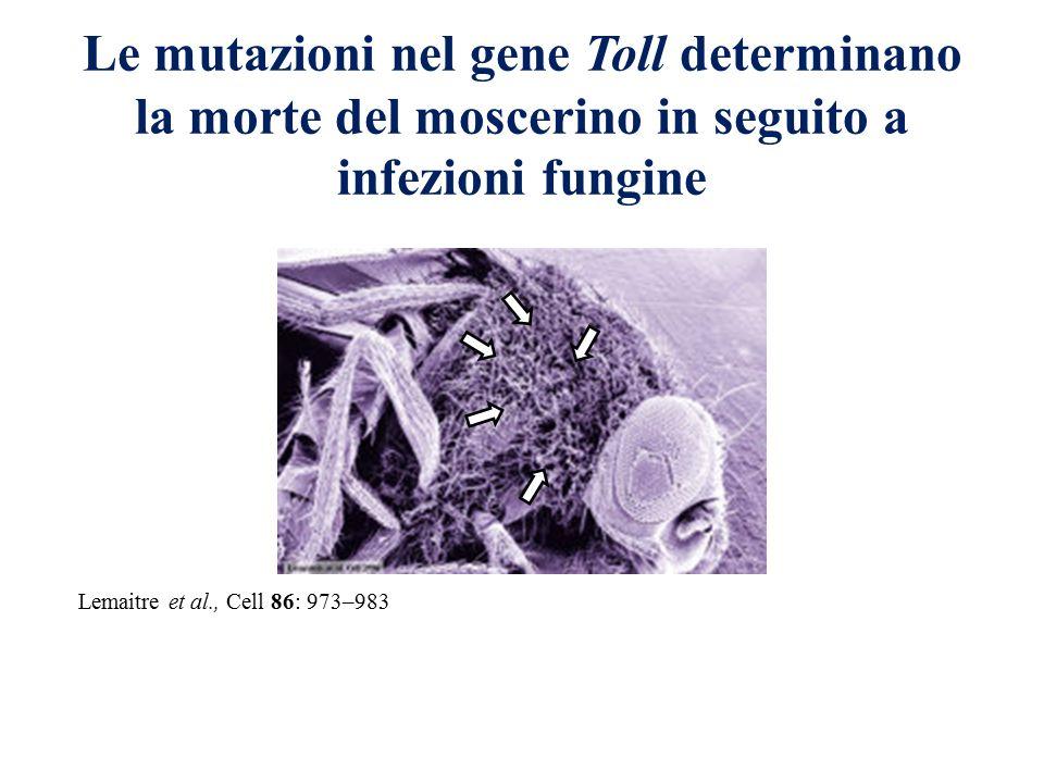 Le mutazioni nel gene Toll determinano la morte del moscerino in seguito a infezioni fungine