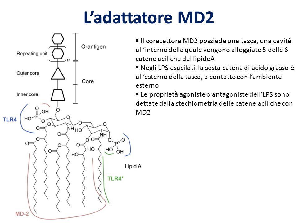 L'adattatore MD2 Il corecettore MD2 possiede una tasca, una cavità all'interno della quale vengono alloggiate 5 delle 6 catene aciliche del lipideA.