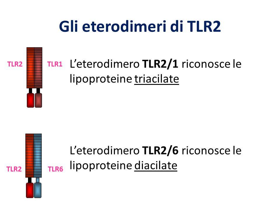 Gli eterodimeri di TLR2 TLR1. TLR2. L'eterodimero TLR2/1 riconosce le lipoproteine triacilate.