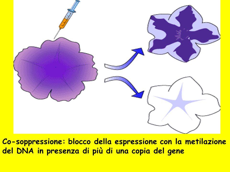 Co-soppressione: blocco della espressione con la metilazione del DNA in presenza di più di una copia del gene