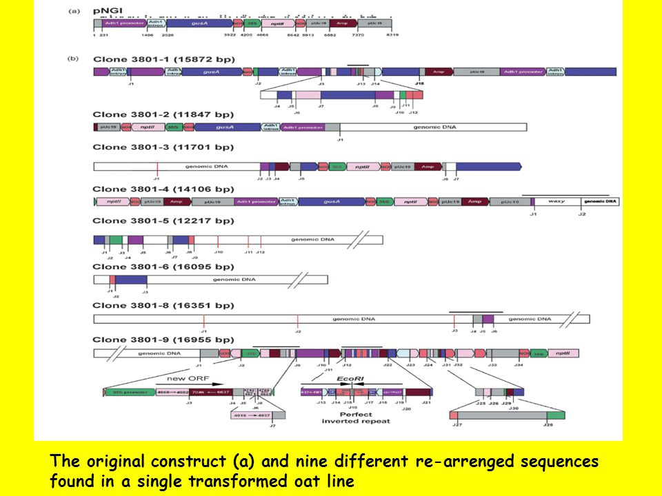 The original construct (a) and nine different re-arrenged sequences found in a single transformed oat line