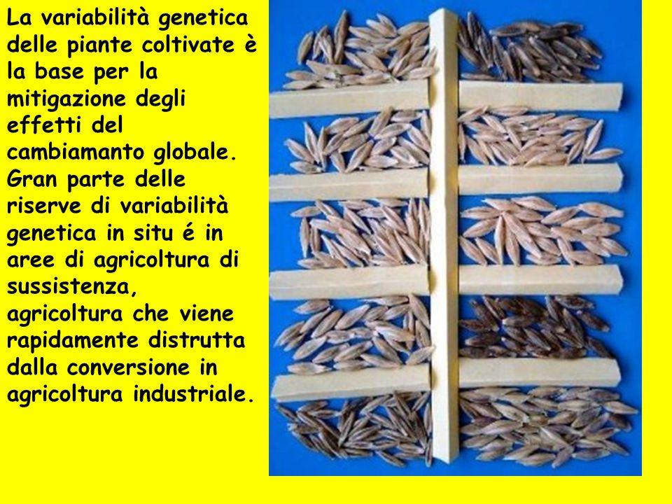 La variabilità genetica delle piante coltivate è la base per la mitigazione degli effetti del cambiamanto globale. Gran parte delle riserve di variabilità genetica in situ é in aree di agricoltura di sussistenza, agricoltura che viene rapidamente distrutta dalla conversione in agricoltura industriale.