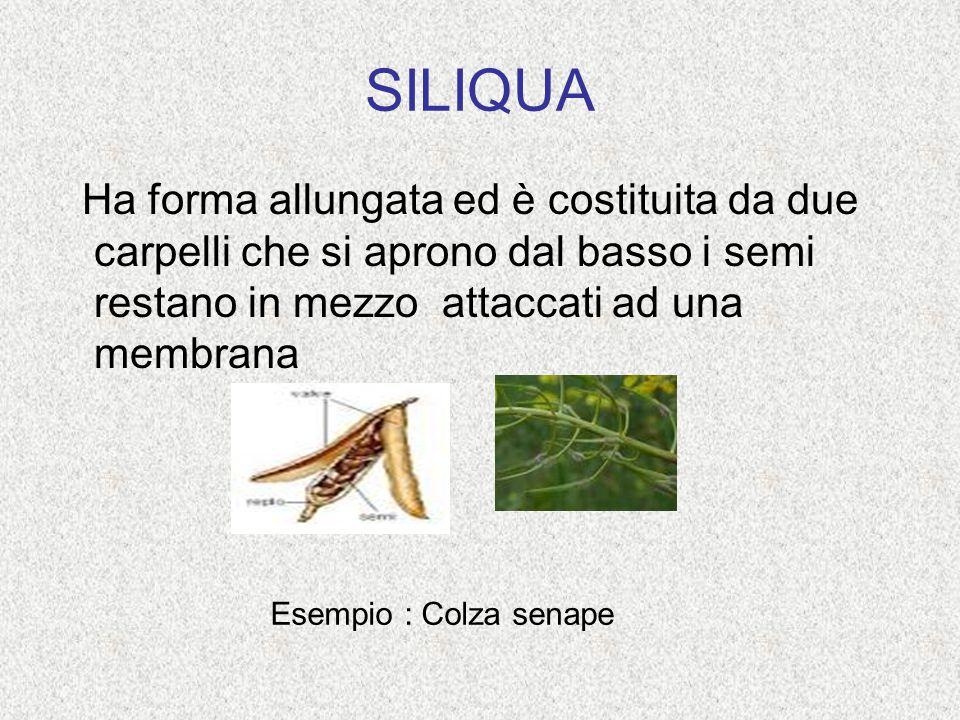 SILIQUA Ha forma allungata ed è costituita da due carpelli che si aprono dal basso i semi restano in mezzo attaccati ad una membrana.