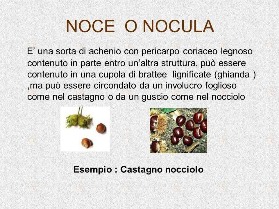 NOCE O NOCULA