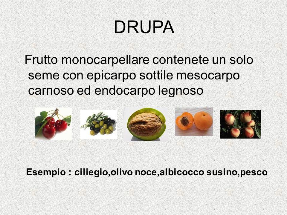 DRUPA Frutto monocarpellare contenete un solo seme con epicarpo sottile mesocarpo carnoso ed endocarpo legnoso.