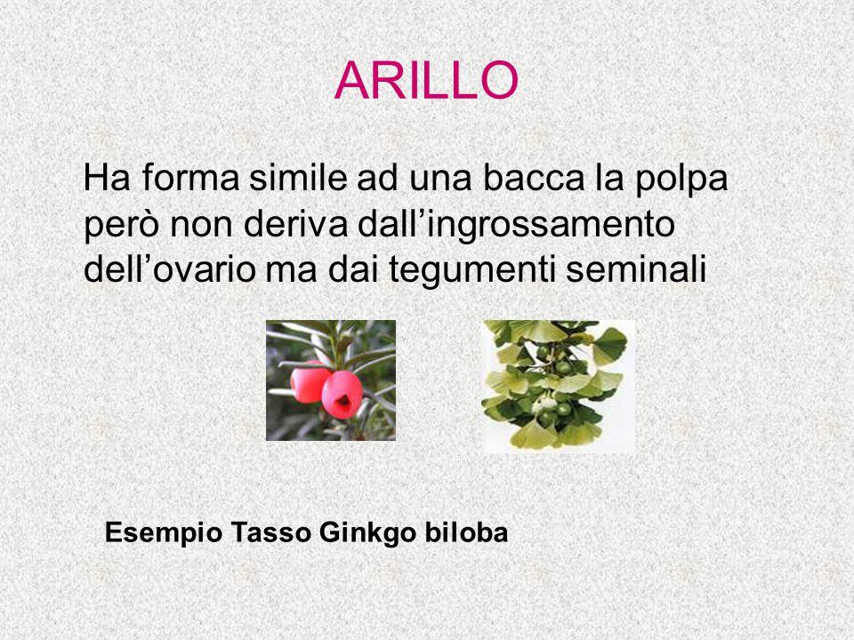 ARILLO Ha forma simile ad una bacca la polpa però non deriva dall'ingrossamento dell'ovario ma dai tegumenti seminali.