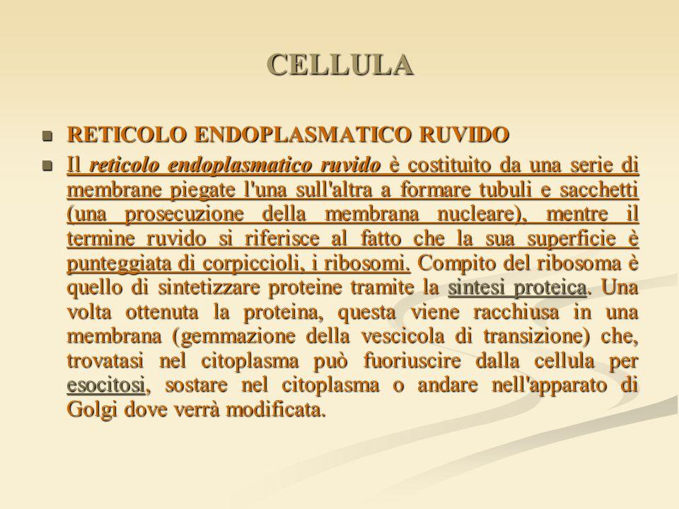 CELLULA RETICOLO ENDOPLASMATICO RUVIDO