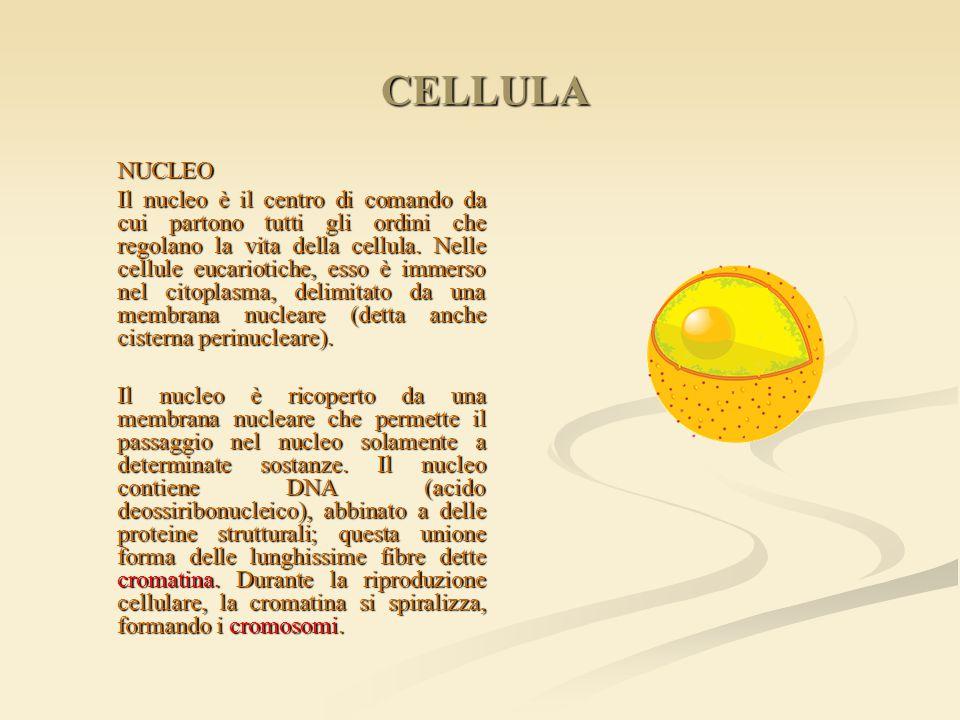 CELLULA NUCLEO.
