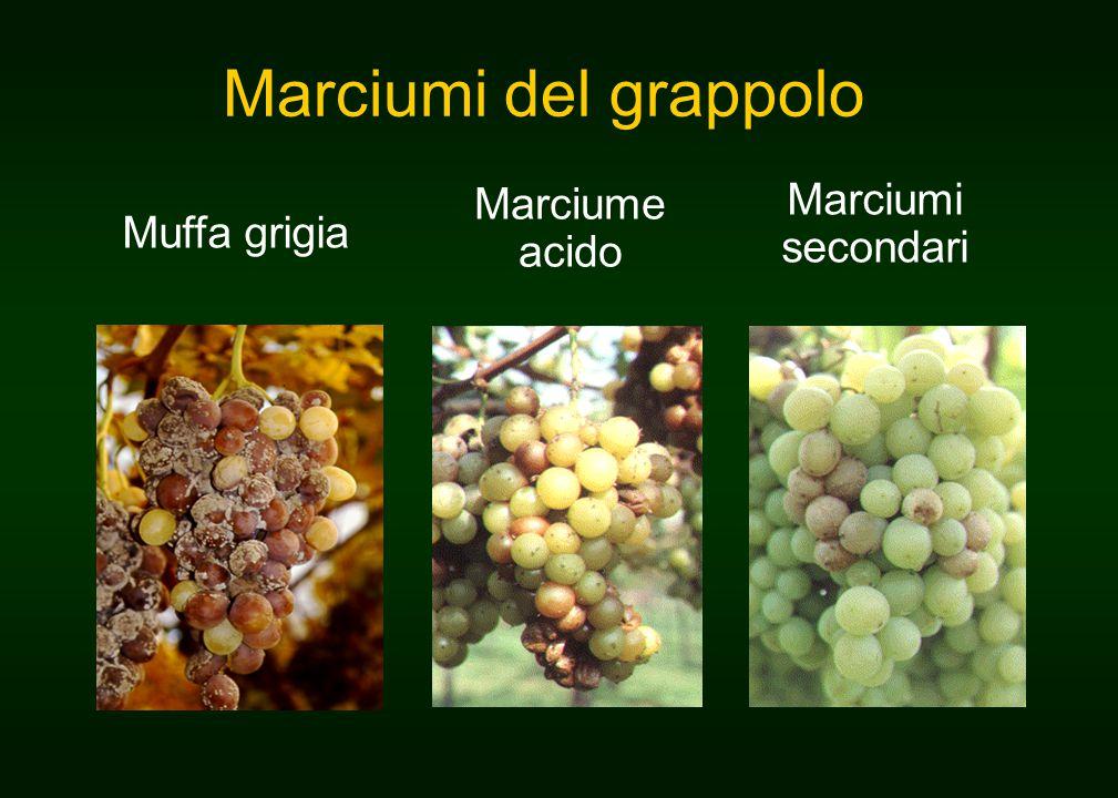 Marciumi del grappolo Marciume acido Marciumi secondari Muffa grigia