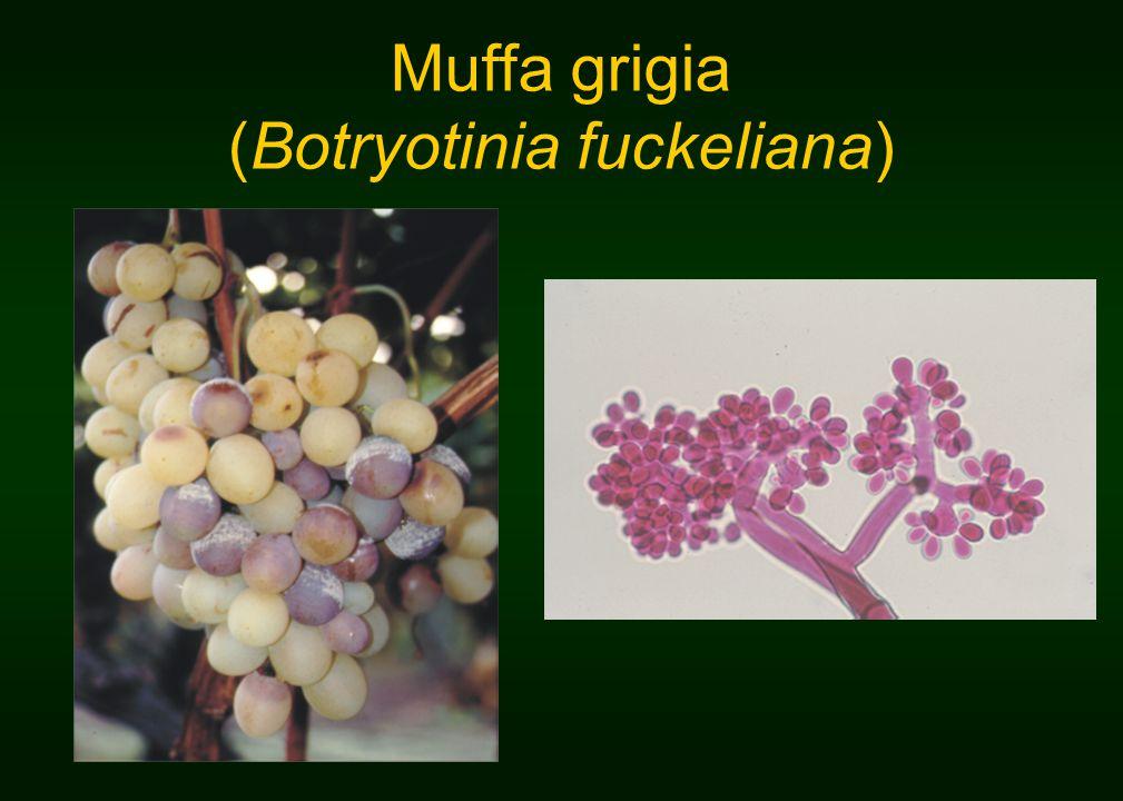 (Botryotinia fuckeliana)