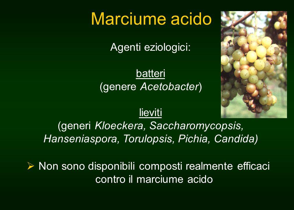 Marciume acido Agenti eziologici: batteri (genere Acetobacter) lieviti