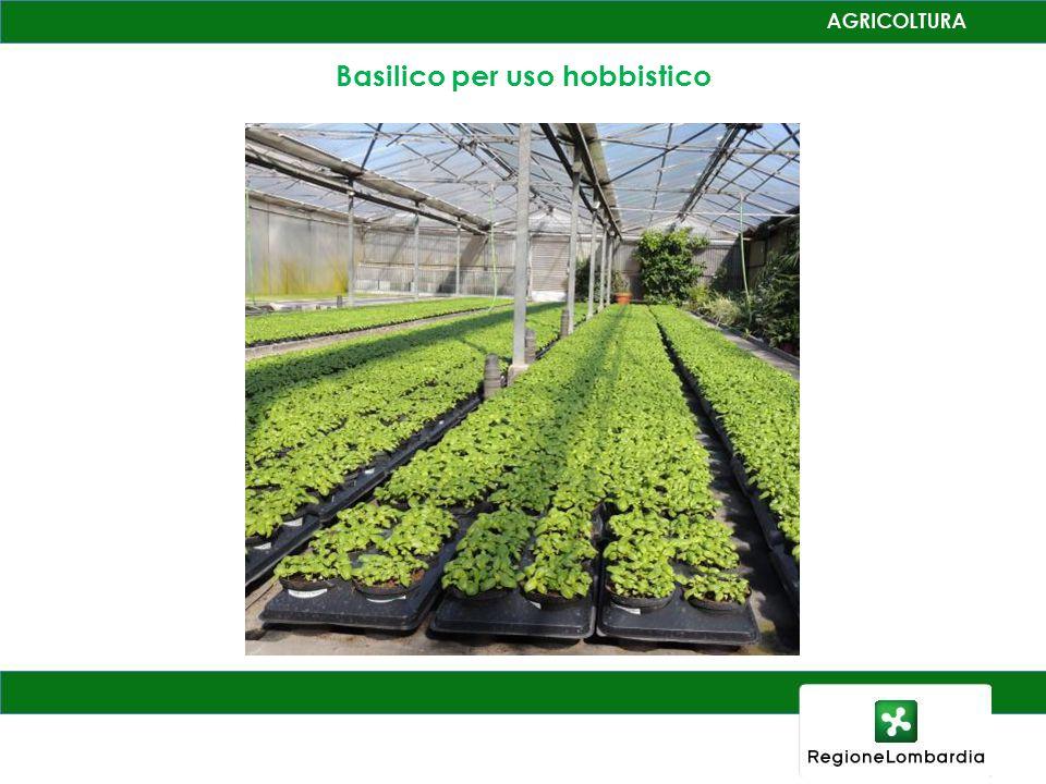 Basilico per uso hobbistico