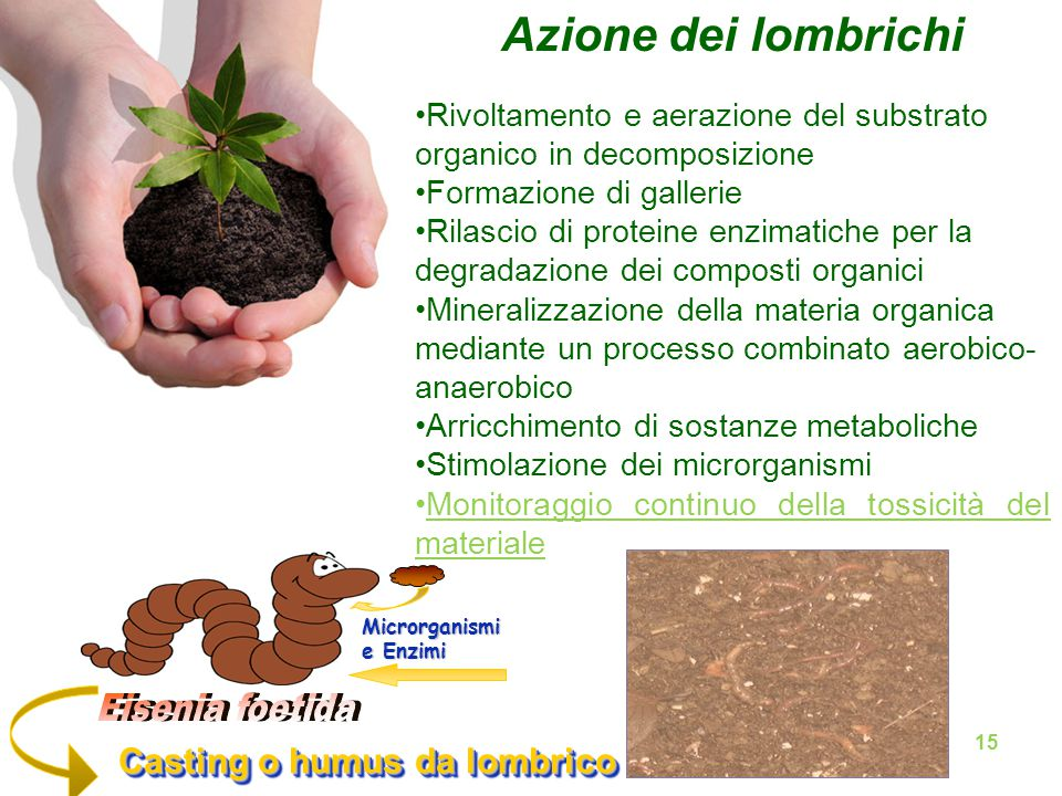 Azione dei lombrichi Eisenia foetida Casting o humus da lombrico
