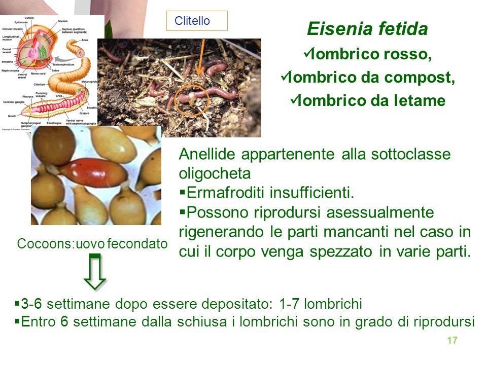 Eisenia fetida lombrico rosso, lombrico da compost, lombrico da letame