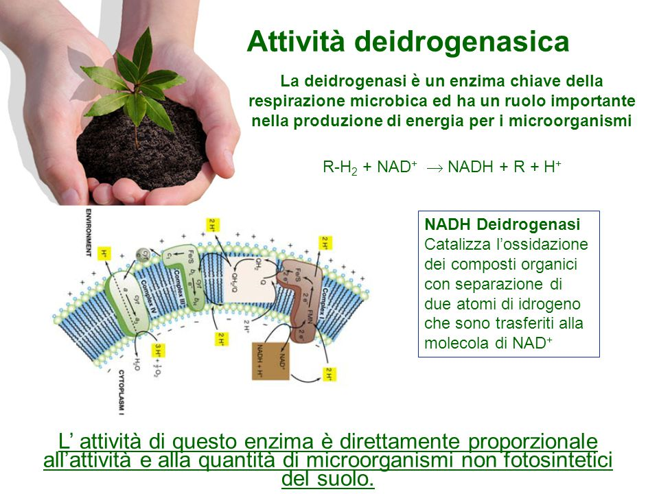Attività deidrogenasica