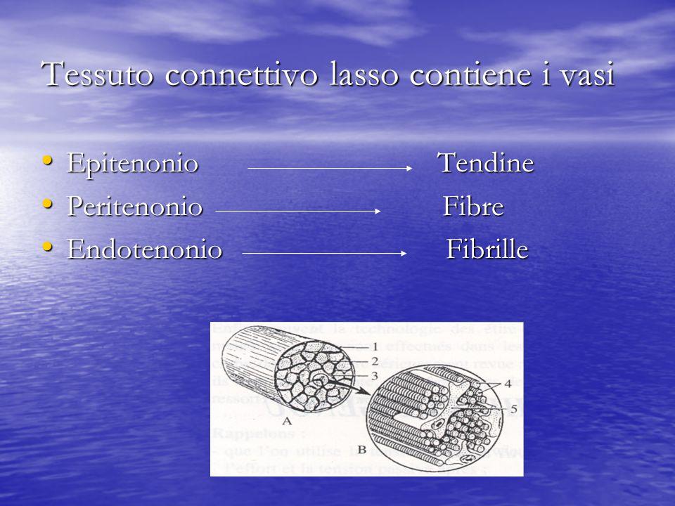 Tessuto connettivo lasso contiene i vasi