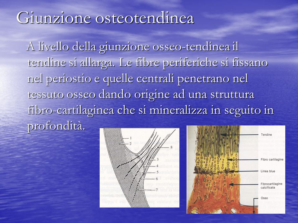 Giunzione osteotendinea