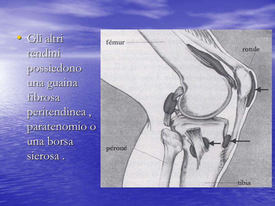 Gli altri tendini possiedono una guaina fibrosa peritendinea , paratenomio o una borsa sierosa .