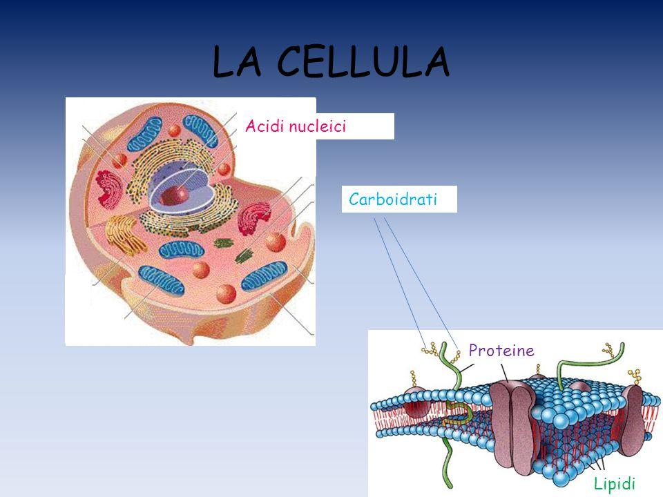 LA CELLULA Acidi nucleici Carboidrati Proteine Lipidi