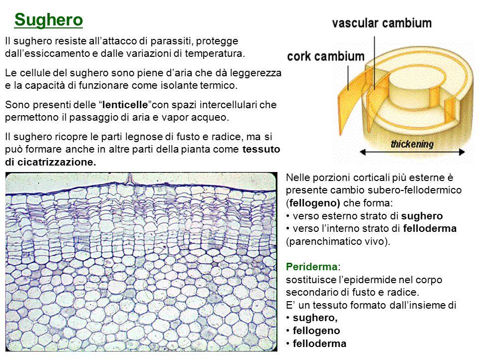 Il sughero resiste all'attacco di parassiti, protegge dall'essiccamento e dalle variazioni di temperatura.