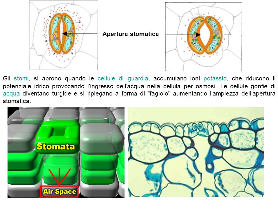 Apertura stomatica